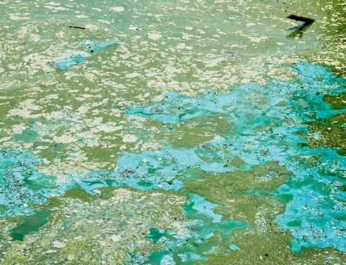 Tests find blue-green algae in three locations of Mad River (California)